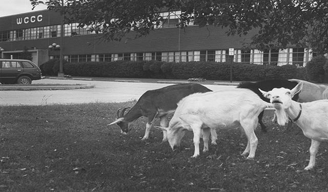 Animals from a nearby farm often wandered onto the campus in the early days.